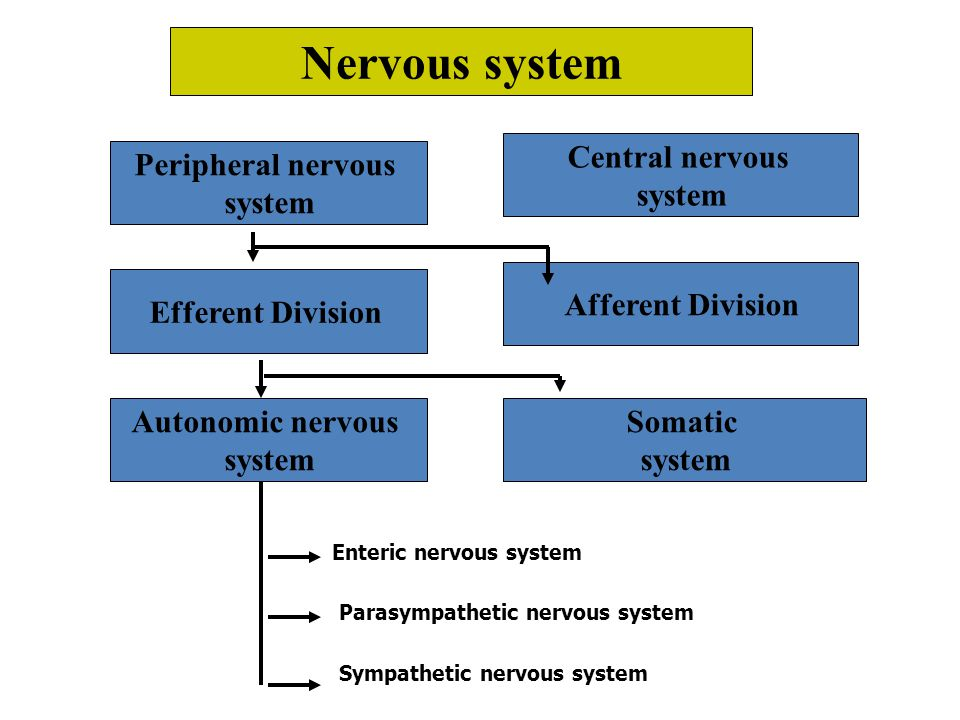 Nervous system Central nervous system Peripheral nervous system