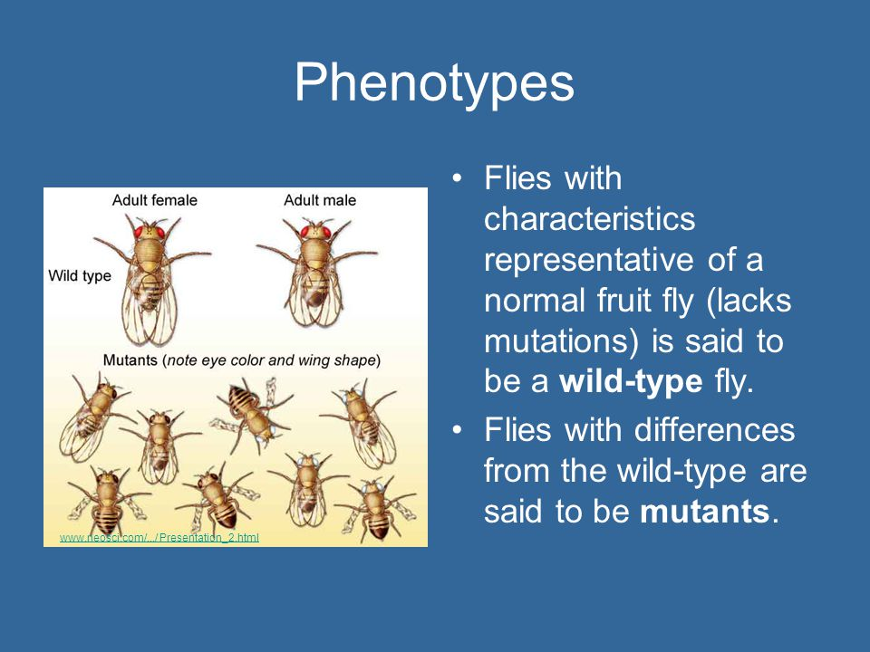 Phenotypes Flies with characteristics representative of a normal fruit fly (lacks mutations) is said to be a wild-type fly.