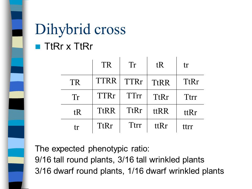 Dihybrid cross TtRr x TtRr The expected phenotypic ratio: