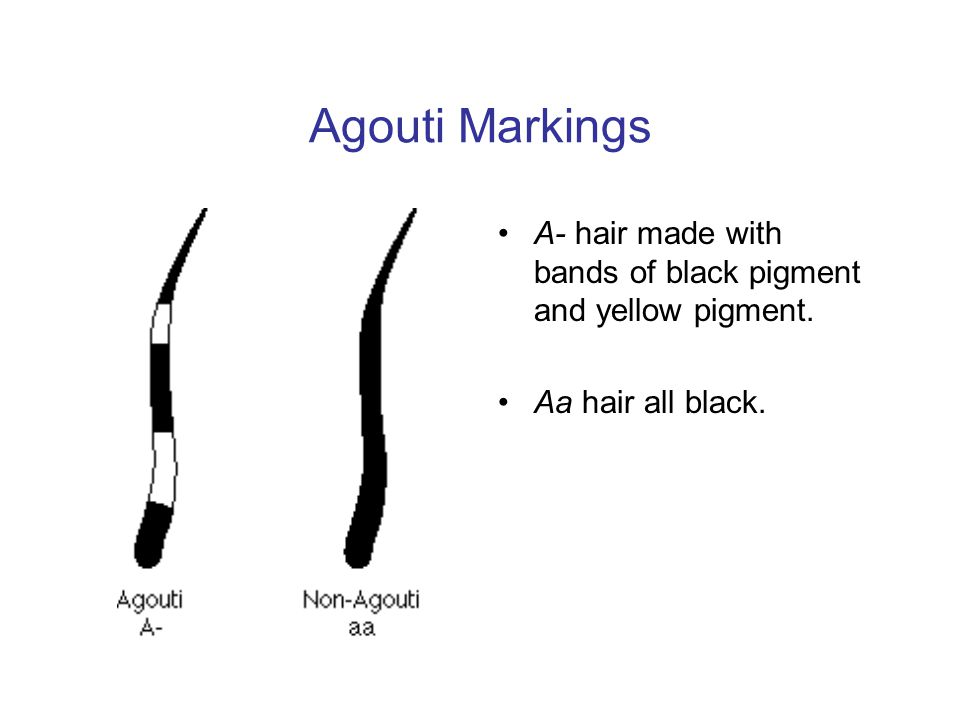 Agouti Markings A- hair made with bands of black pigment and yellow pigment. Aa hair all black.