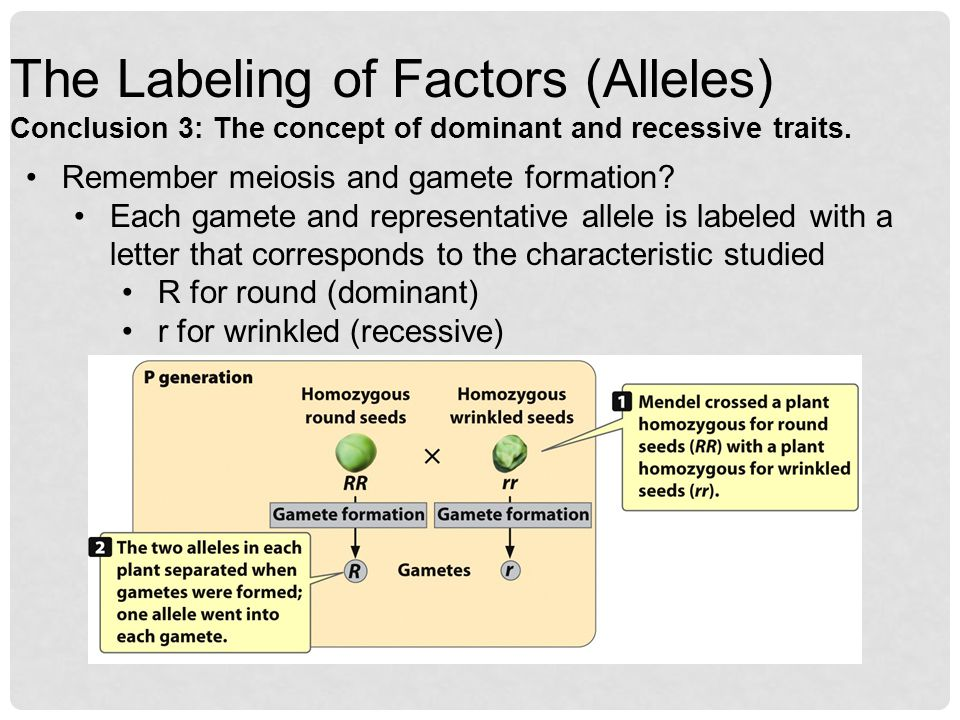 The Labeling of Factors (Alleles) Conclusion 3: The concept of dominant and recessive traits.