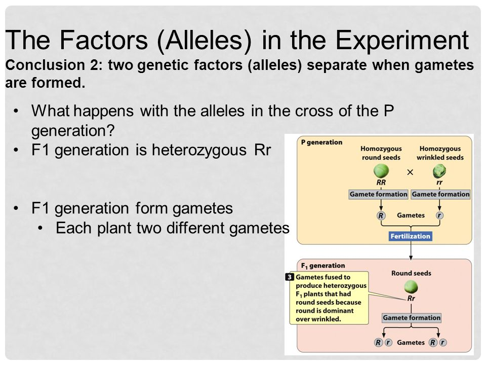 The Factors (Alleles) in the Experiment Conclusion 2: two genetic factors (alleles) separate when gametes are formed.