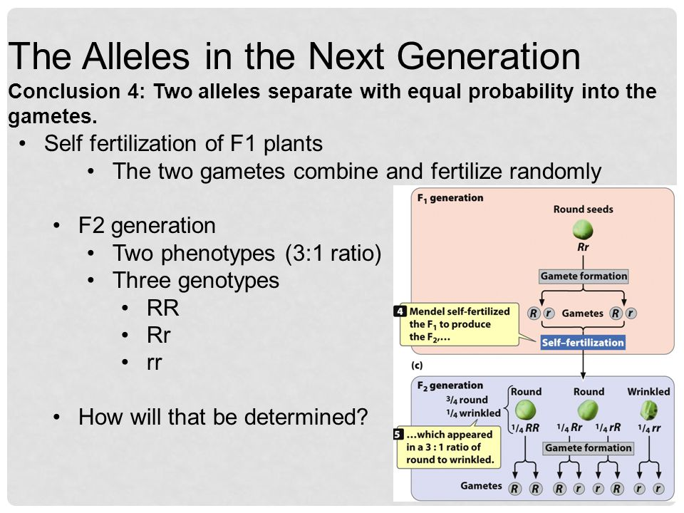 The Alleles in the Next Generation Conclusion 4: Two alleles separate with equal probability into the gametes.