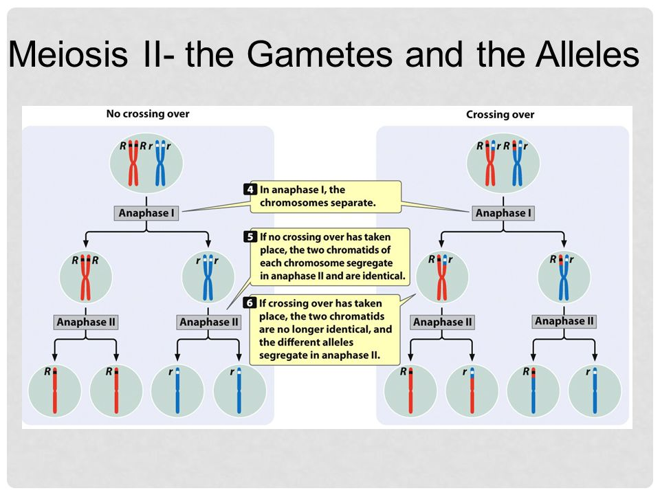 Meiosis II- the Gametes and the Alleles