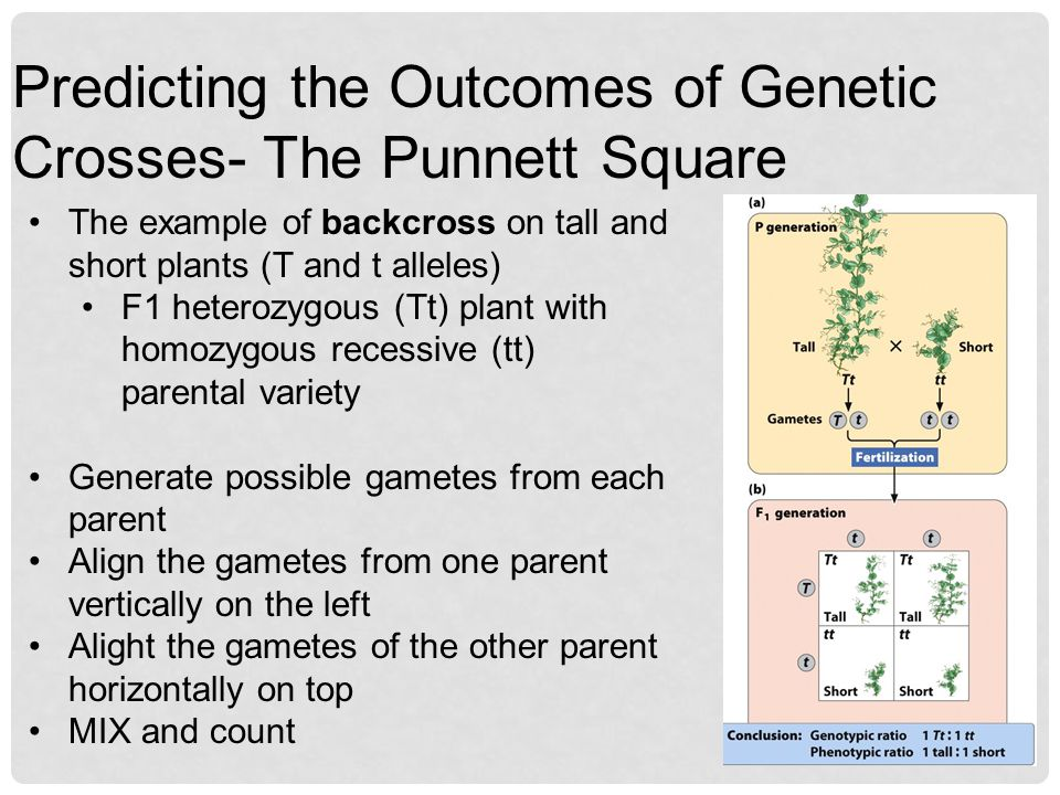 Predicting the Outcomes of Genetic Crosses- The Punnett Square
