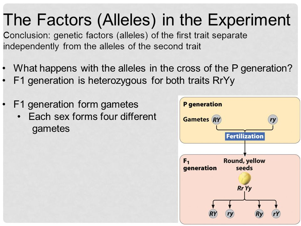 The Factors (Alleles) in the Experiment Conclusion: genetic factors (alleles) of the first trait separate independently from the alleles of the second trait