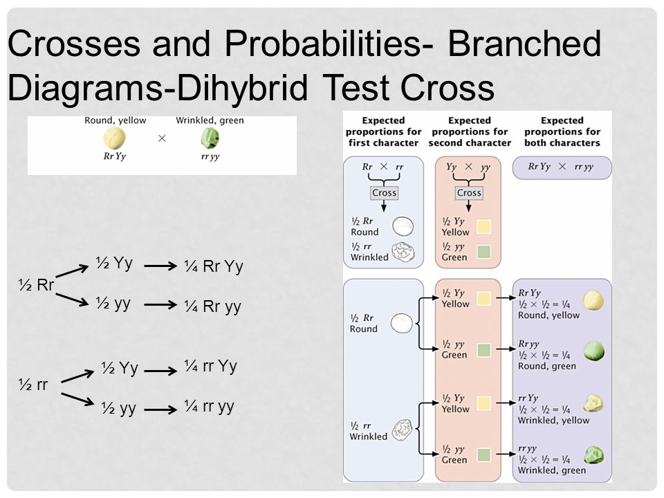 Crosses and Probabilities- Branched Diagrams-Dihybrid Test Cross