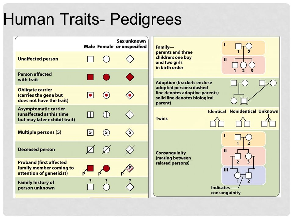 Human Traits- Pedigrees