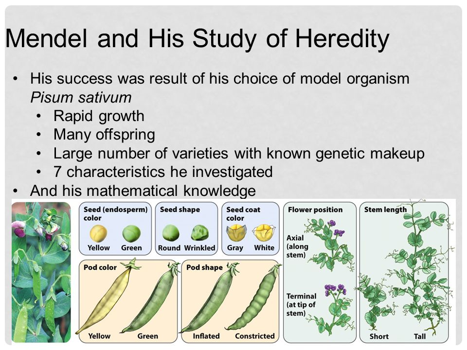 Mendel and His Study of Heredity
