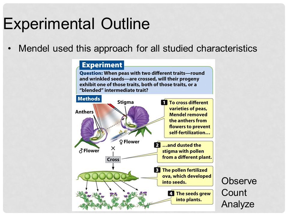 Experimental Outline Mendel used this approach for all studied characteristics.