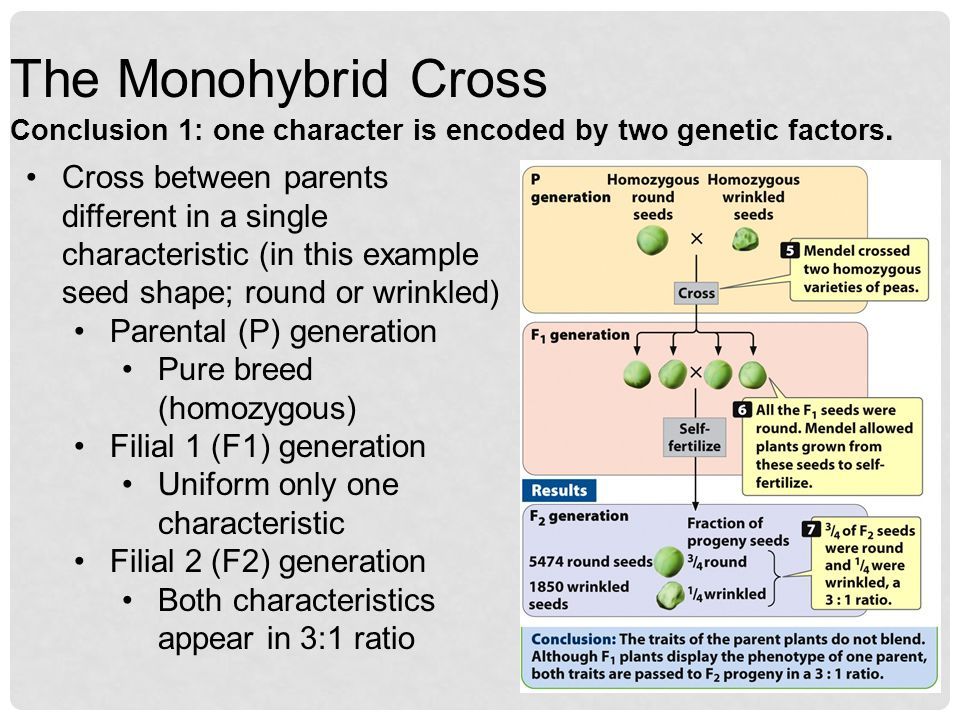 The Monohybrid Cross Conclusion 1: one character is encoded by two genetic factors.