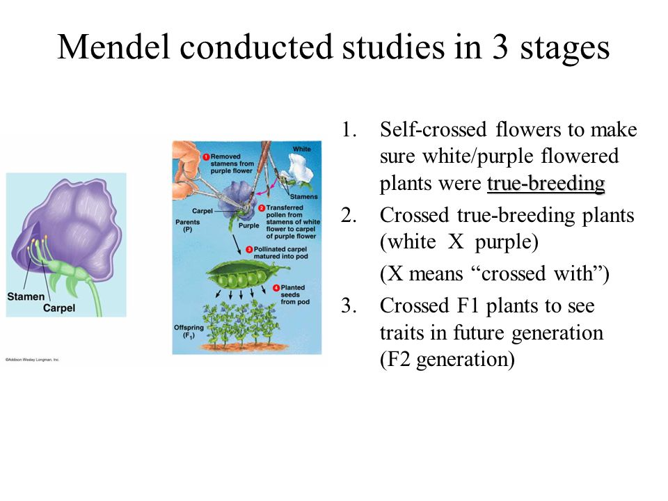 Mendel conducted studies in 3 stages