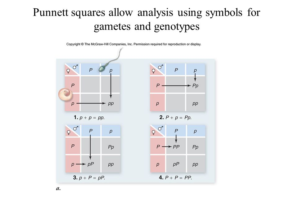 Punnett squares allow analysis using symbols for gametes and genotypes