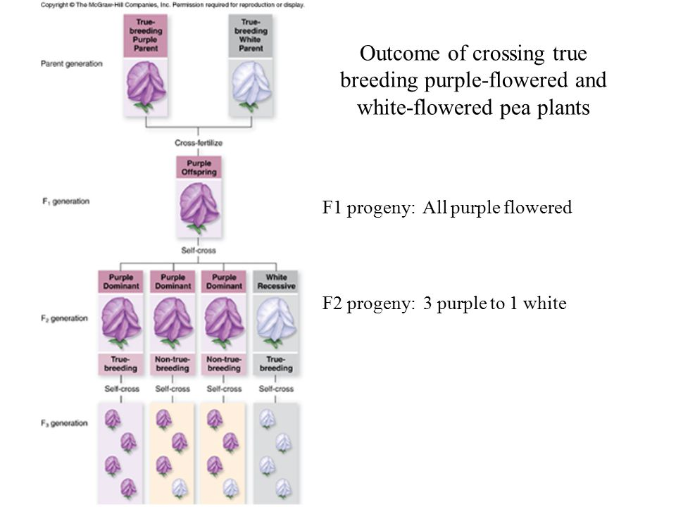 Outcome of crossing true breeding purple-flowered and white-flowered pea plants