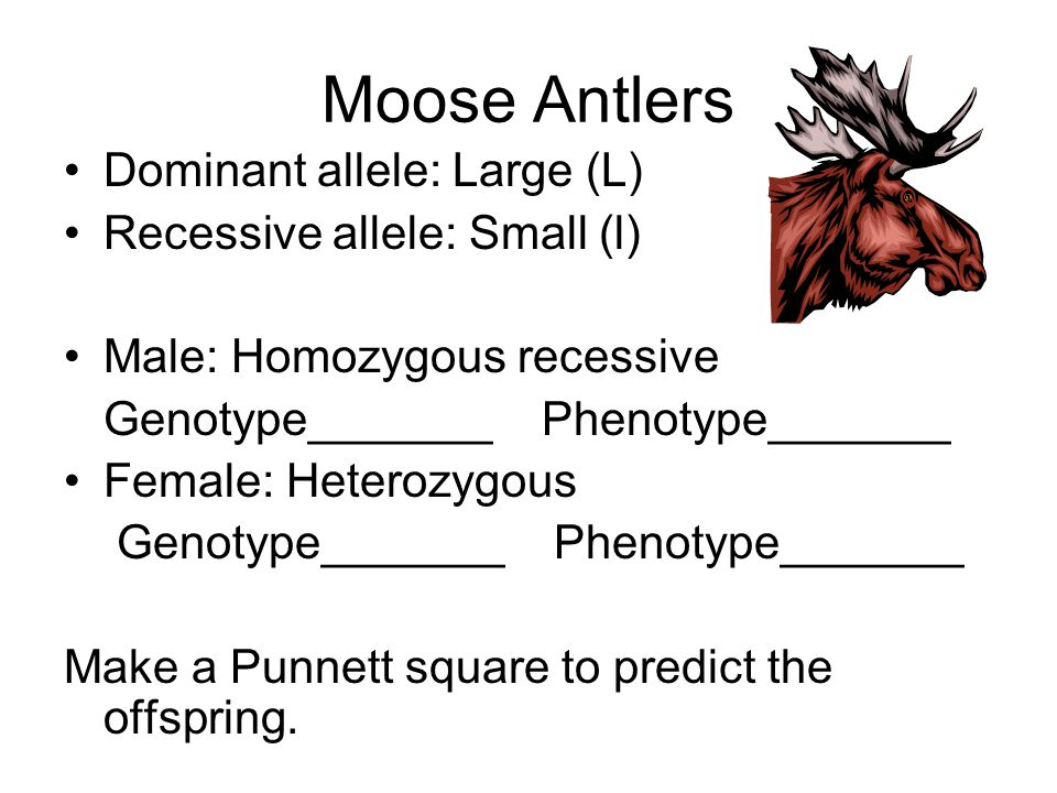 Moose Antlers Dominant allele: Large (L) Recessive allele: Small (l)