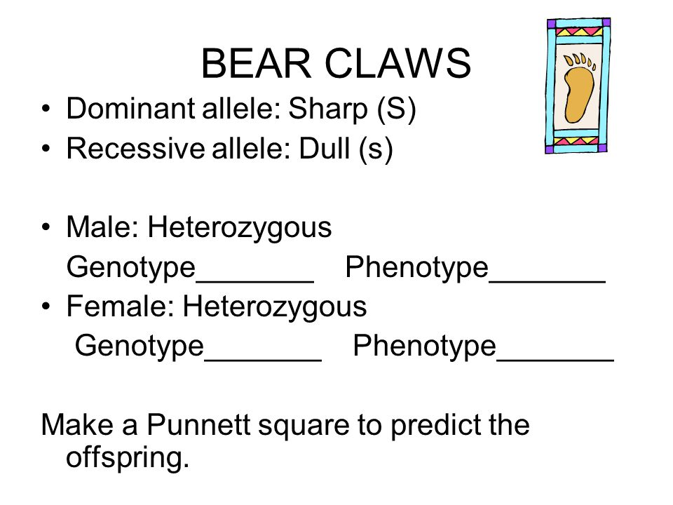 BEAR CLAWS Dominant allele: Sharp (S) Recessive allele: Dull (s)