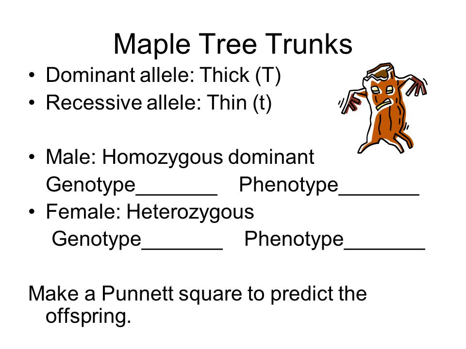 Maple Tree Trunks Dominant allele: Thick (T)