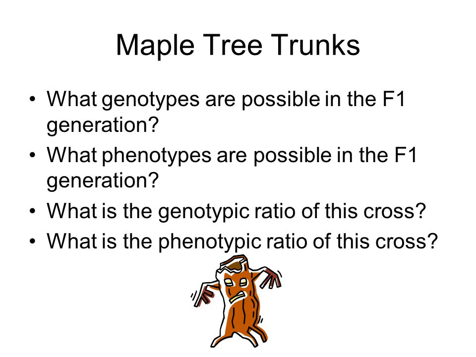 Maple Tree Trunks What genotypes are possible in the F1 generation