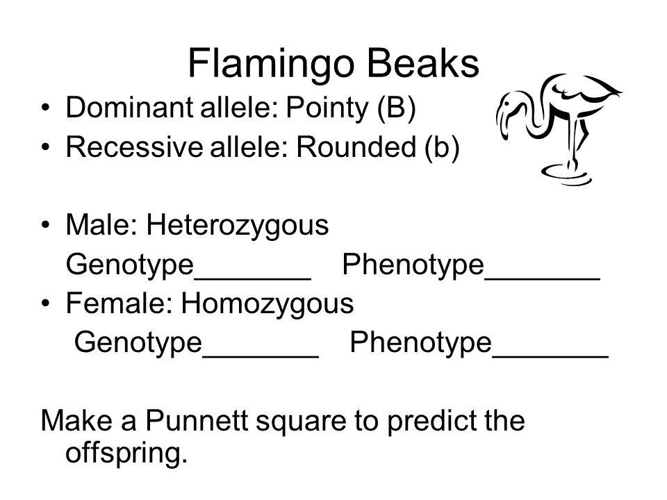Flamingo Beaks Dominant allele: Pointy (B)