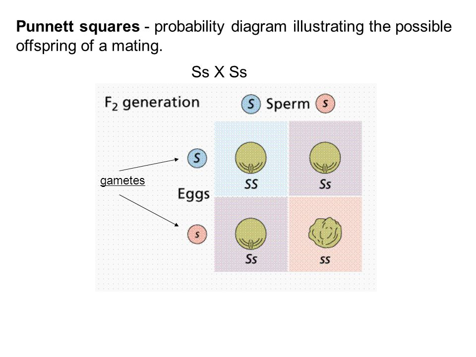 Punnett squares - probability diagram illustrating the possible offspring of a mating.