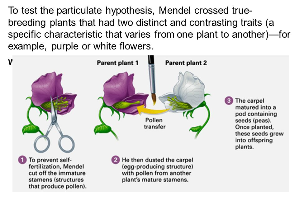 To test the particulate hypothesis, Mendel crossed true-breeding plants that had two distinct and contrasting traits (a specific characteristic that varies from one plant to another)—for example, purple or white flowers.