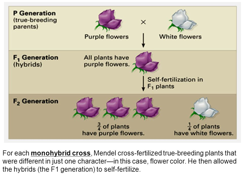 Monohybrid Cross: represents mating between two plants which have different alleles at one gentic location.