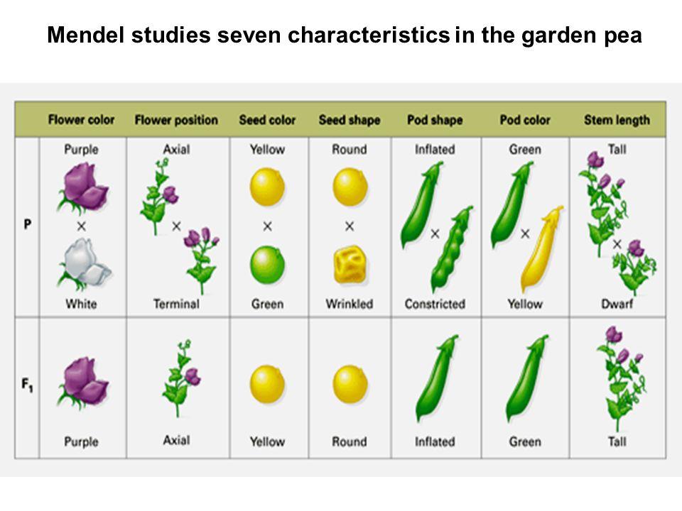 Mendel studies seven characteristics in the garden pea