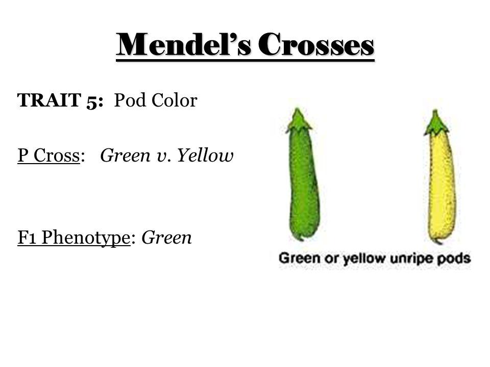 Mendel's Crosses TRAIT 5: Pod Color P Cross: Green v. Yellow