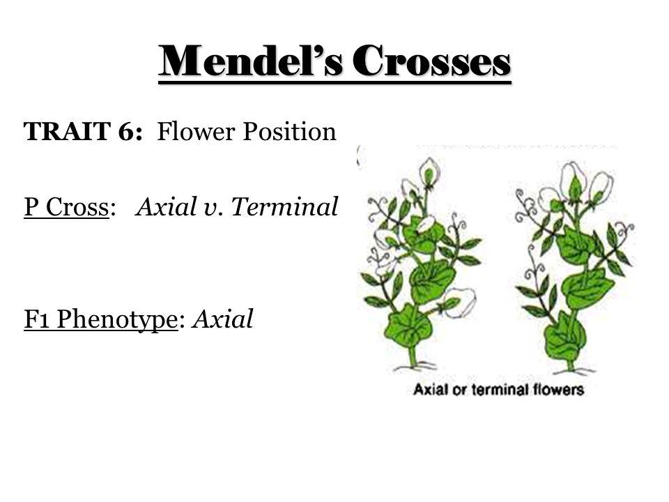 Mendel's Crosses TRAIT 6: Flower Position P Cross: Axial v. Terminal