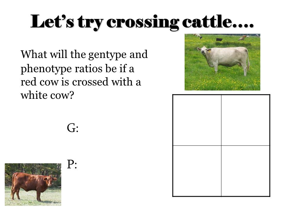 Let's try crossing cattle….