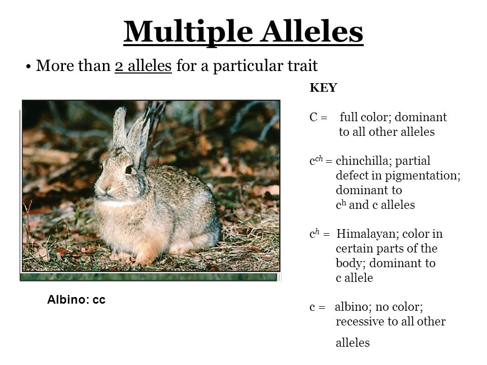 Multiple Alleles More than 2 alleles for a particular trait KEY