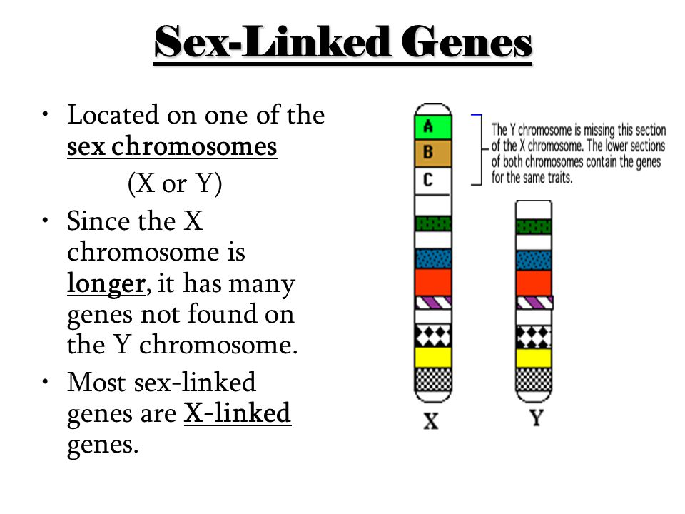 Sex-Linked Genes Located on one of the sex chromosomes (X or Y)