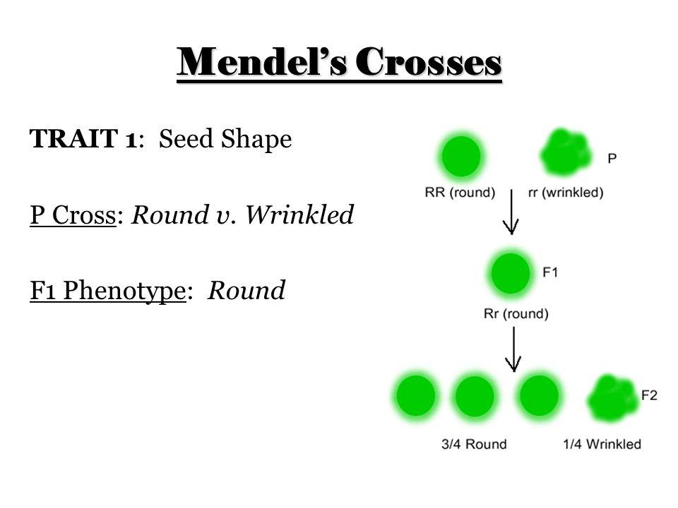 Mendel's Crosses TRAIT 1: Seed Shape P Cross: Round v. Wrinkled