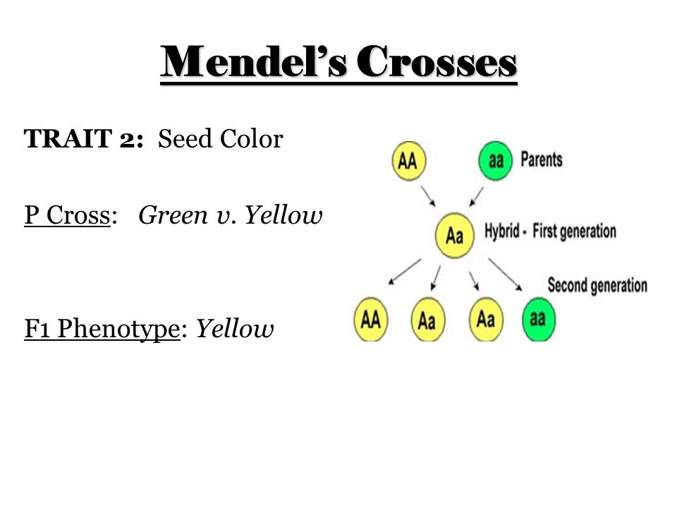 Mendel's Crosses TRAIT 2: Seed Color P Cross: Green v. Yellow