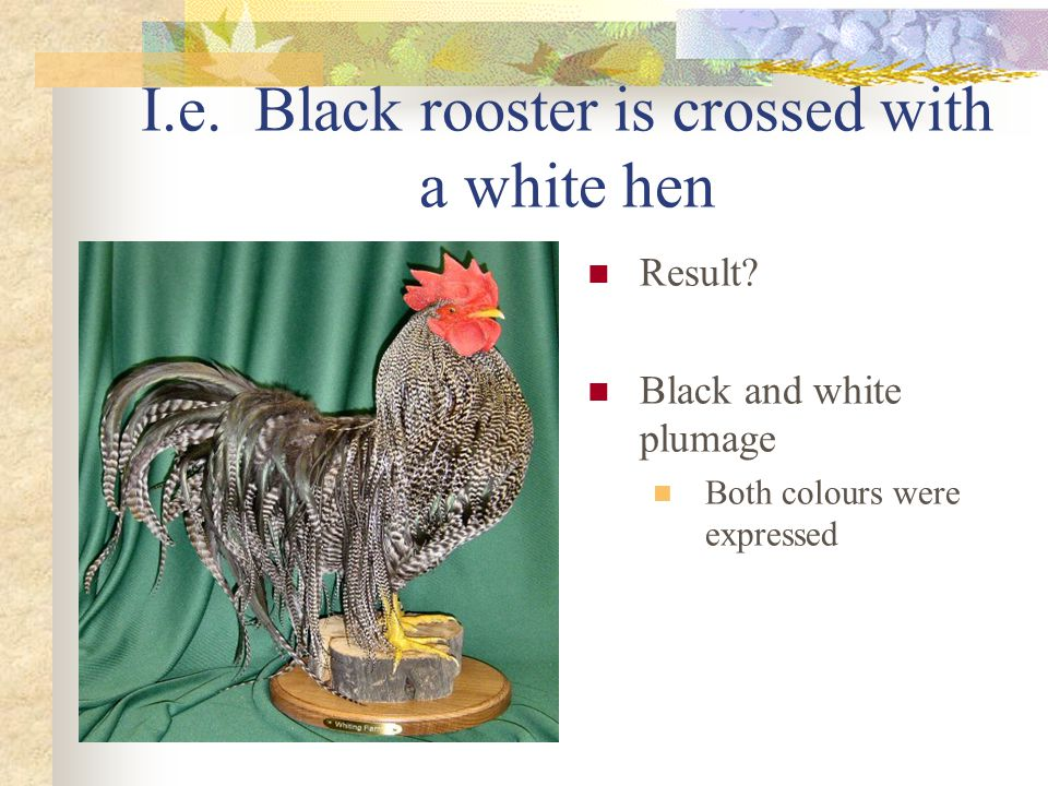 I.e. Black rooster is crossed with a white hen
