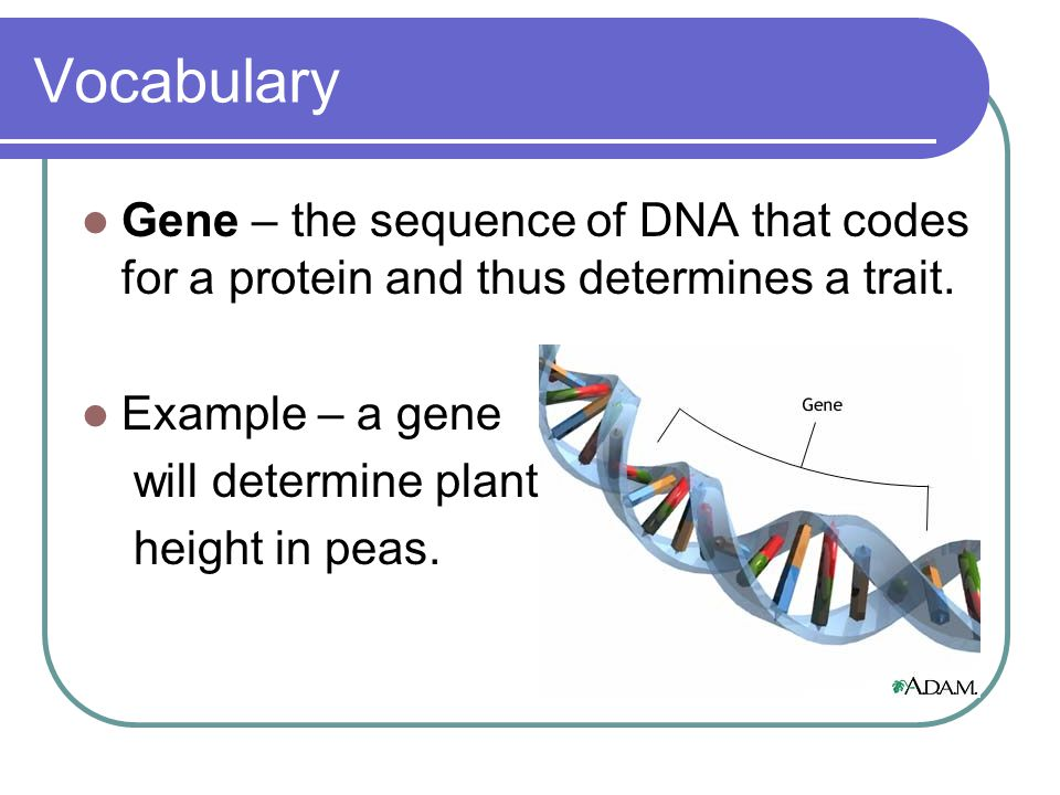 Vocabulary Gene – the sequence of DNA that codes for a protein and thus determines a trait. Example – a gene.
