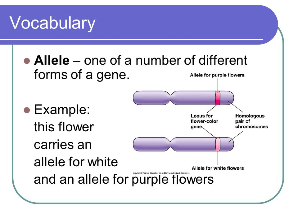 Vocabulary Allele – one of a number of different forms of a gene.