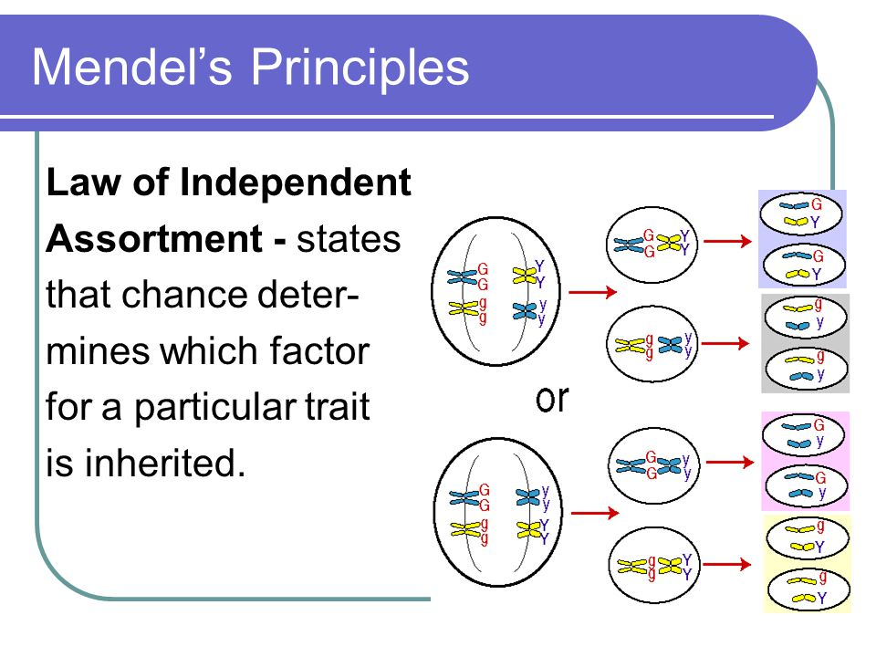Mendel's Principles Law of Independent Assortment - states