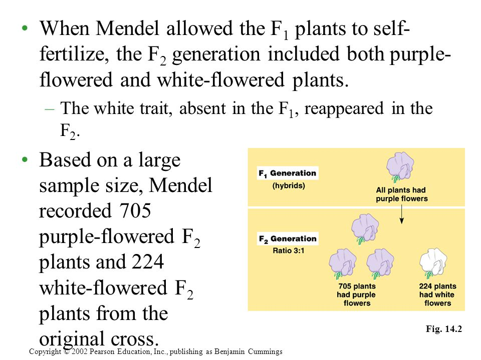 When Mendel allowed the F1 plants to self-fertilize, the F2 generation included both purple-flowered and white-flowered plants.