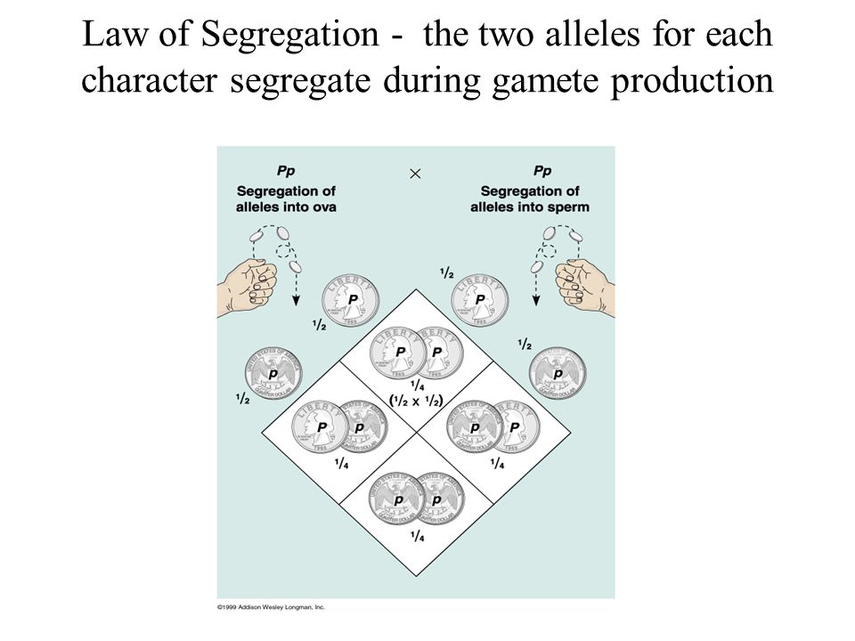 Law of Segregation - the two alleles for each character segregate during gamete production