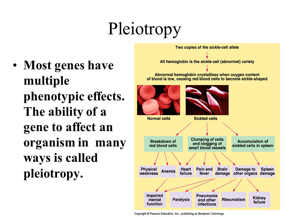 Pleiotropy Most genes have multiple phenotypic effects.