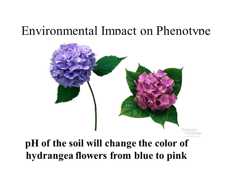Environmental Impact on Phenotype