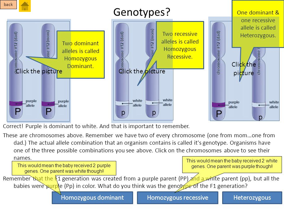 Genotypes P P P Click the picture Click the picture Click the picture