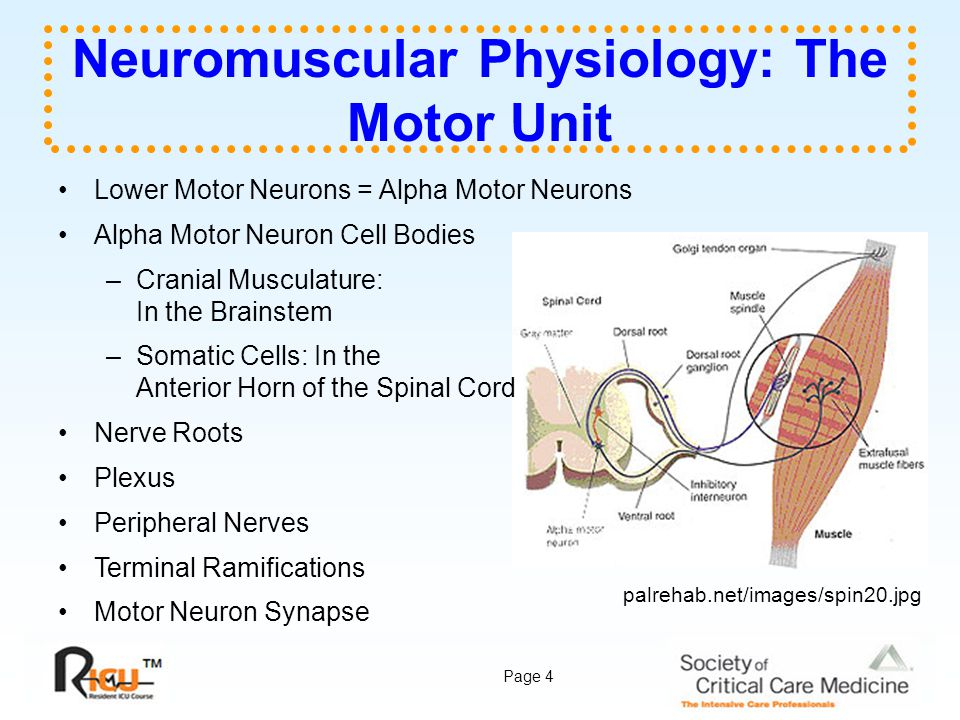 Neuromuscular Physiology: The Motor Unit