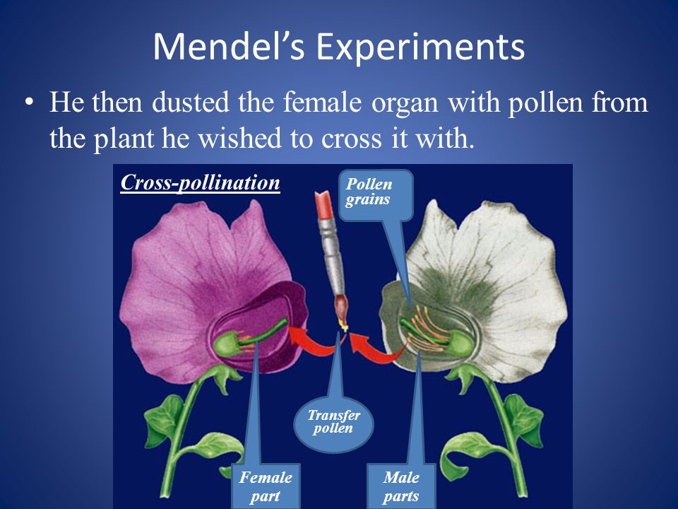 Mendel's Experiments He then dusted the female organ with pollen from the plant he wished to cross it with.