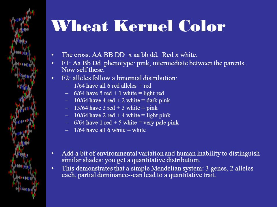 Wheat Kernel Color The cross: AA BB DD x aa bb dd. Red x white.