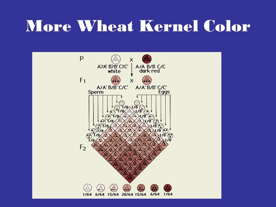 More Wheat Kernel Color