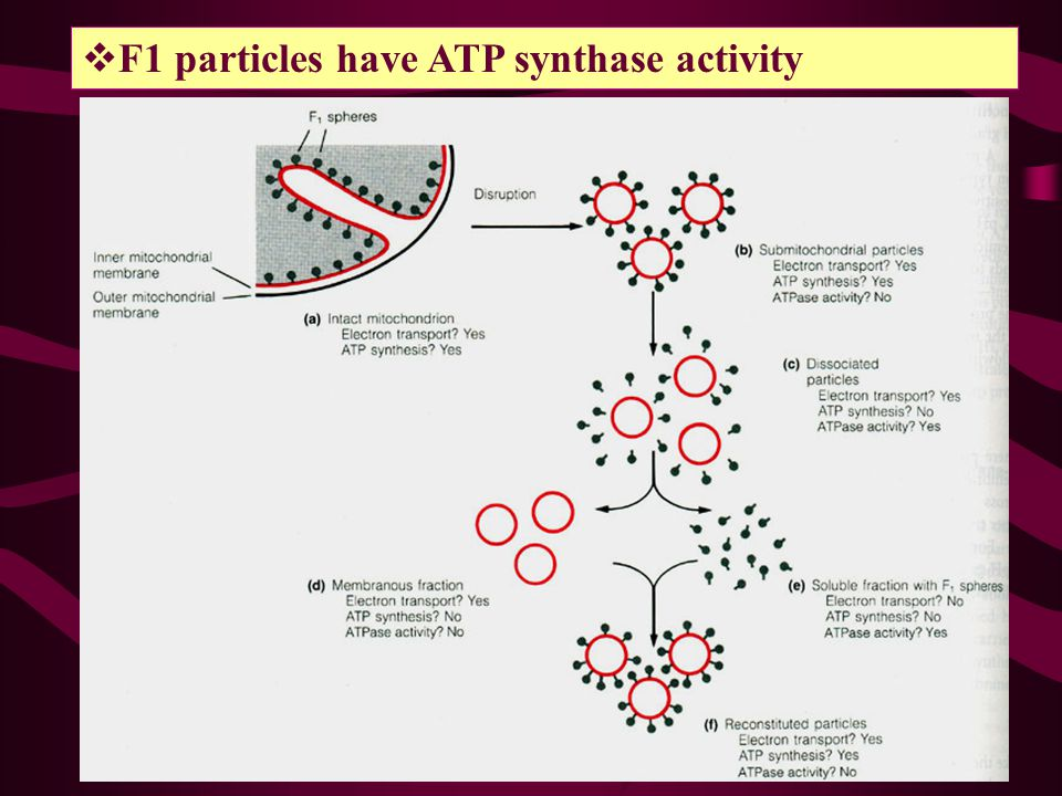 F1 particles have ATP synthase activity