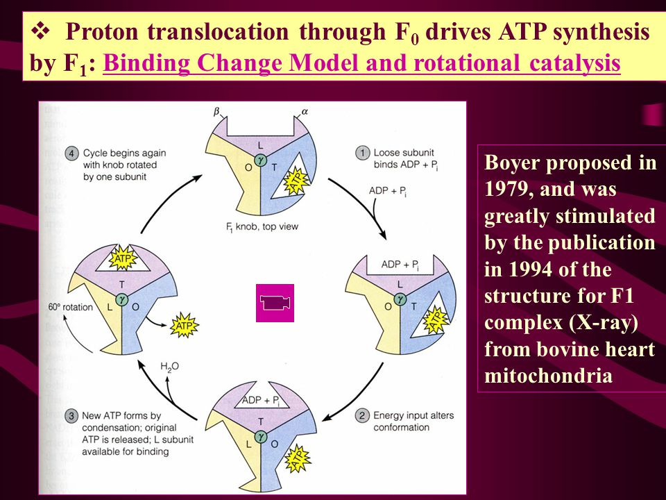 Proton translocation through F0 drives ATP synthesis by F1: Binding Change Model and rotational catalysis