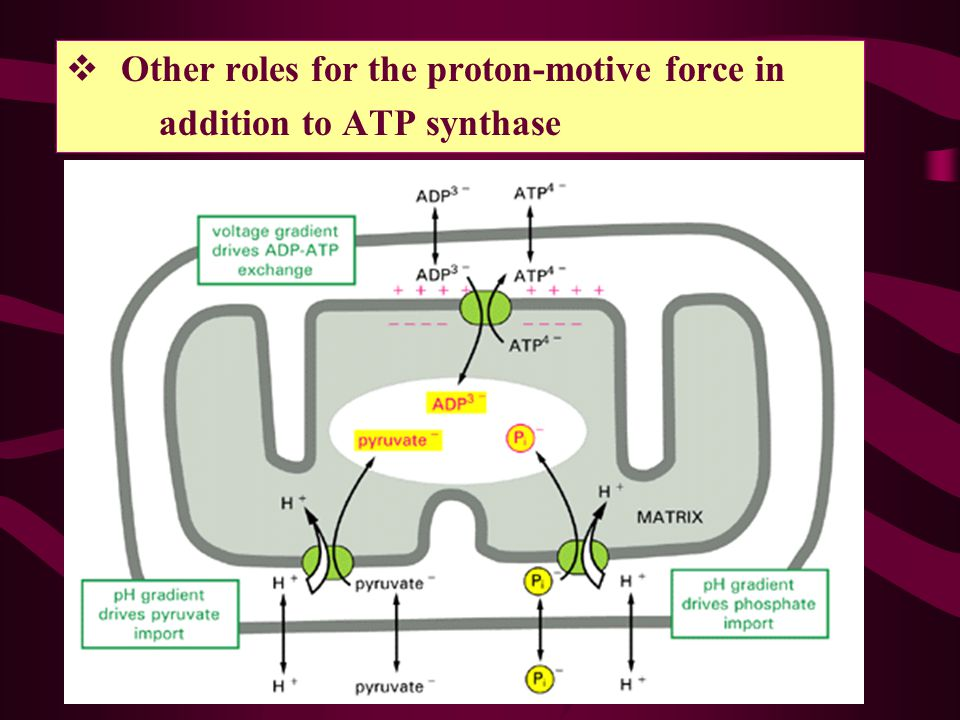 Other roles for the proton-motive force in